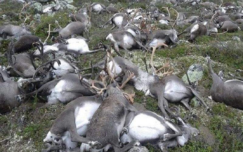 Νορβηγία, νεκροί τάρανδοι από κεραυνό, νεκρά ζώα από κεραυνό, κεραυνός, εθνικό πάρκο Νορβηγίας, κοιλάδα Hardangervidda