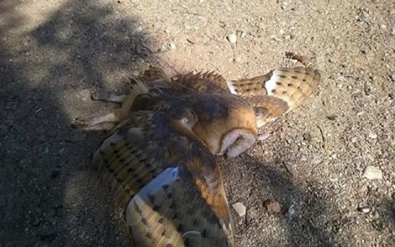 σκότωσαν σπάνιο και προστατευόμενο είδος πτηνού, μπούφος