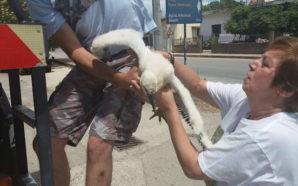 Άγιος Νικόλαος Βόνιτσας – Έγινε δακτυλίωση των πελαργών