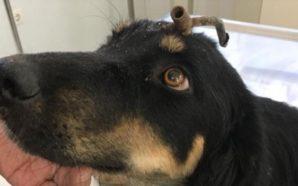 Κάρφωσαν τρίαινα ψαροντούφεκου στο κεφάλι αδέσποτου σκύλου στην Κορινθία