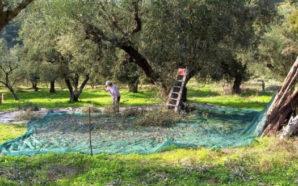 Άγνωστοι «σήκωσαν» τόνους ελιάς από αποθήκες στο Μεσολόγγι