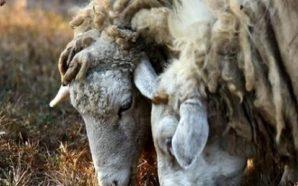 Πρωταγωνιστεί και το 2017 η Αιτωλοακαρνανία στις παραδόσεις αιγοπρόβειου γάλακτος