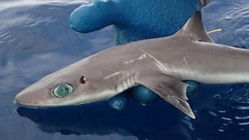 Ανακαλύφθηκε νέο είδος καρχαριοειδούς - Σκυλόψαρο της Τζένη